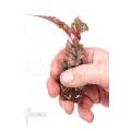 "Begonia serratipetala ""Starter"""