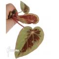 Begonia sp Borneo TypeB