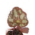 Begonia sp VA2