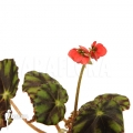 Begonia species ii