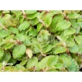 Begonia species 'Small staying'