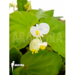 Begonia species tropical