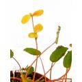 Begonia vankerckhovenii