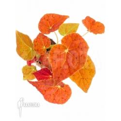 Begonia x Autumn Ember