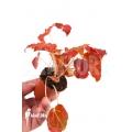 """Begonia x Autumn Ember """"Starter"""""""