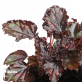 Begonia x 'Red star'