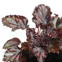 Begonia x 'Red Star'