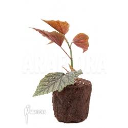 Begonia x argenteo x guttata 'starter'