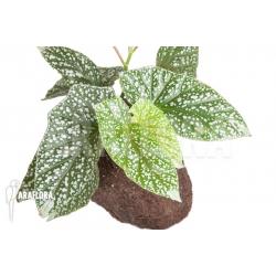 Begonia x argenteo x guttata