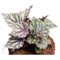 Begonia x 'Voodoo Star'
