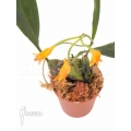 Orchid 'Bifrenaria aureo-fulva'