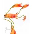 Orchid 'Bifrenaria aureo-fulva' Starter'