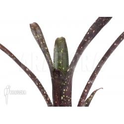 Billbergia amoena