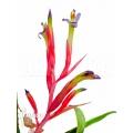 Bromeliad 'Billbergia leitzei'