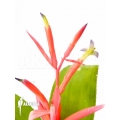 Bromeliad 'Billbergia leptopoda'