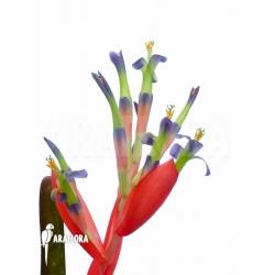 Billbergia morelli flower