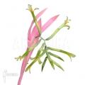 Bromeliad 'Billbergia nutans'