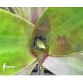 Bromeliad 'Billbergia pallidiflora'