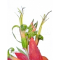 Bromeliad 'Billbergia x windii (nutans x decora)'