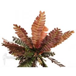 Biophytum zenkeri adult plant