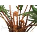 Tree fern 'Blechnum chilensis'