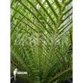 Silver lady tree fern 'Blechnum gibbum' (XL)