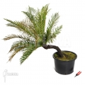 Silver lady tree fern 'Blechnum gibbum'