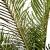 Blechnum gibbum (XL)