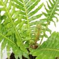 Tree fern 'Blechnum gibbum'
