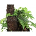Tree fern 'Blechnum nudum'