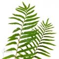 Tree fern 'Blechnum tabulare'