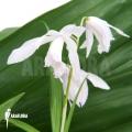Outdoor Orchid 'Bletilla striata (alba)'