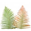 Tree fern 'Brainea insignis' plug