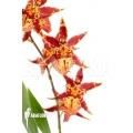Orchid 'Brassia x 'Summer dream'