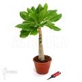 Hawaiian palm 'Brighamia insignis 'L'