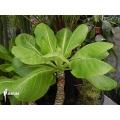 Hawaiian palm 'Brighamia insignis 'M'