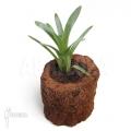 Bromeliad 'Brocchinia hechtioides (Gran Sabana)'