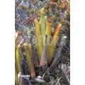 Bromeliad 'Brocchinia reducta'