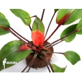 Bromeliad 'Bromelia scarlatina'