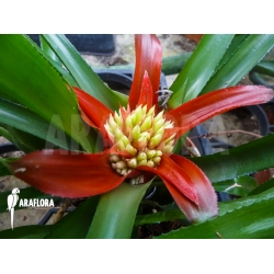 Bromelia species botanical unknown