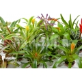 Bromeliad Neoregelia package XL Deal (12 plants)