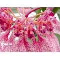 Orchid 'Bulbophyllum eberhardtii' 'M'