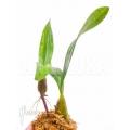 Orchid 'Bulbophyllum falcatum' 'Starter''