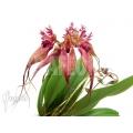 Orchid 'Bulbophyllum rothschildianum'