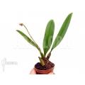 Orchid 'Bulbophyllum rothschildianum'  starter
