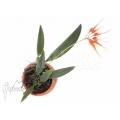 Orchid 'Bulbophyllum tingabarinum'