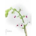 Orchid 'Calanthe vestita var.rubra'