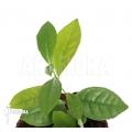 Tea plant 'Camellia sinensis'