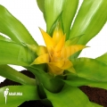 Bromeliad 'Canistropsis billbergioides cv citron'