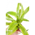 Bromeliad 'Canistropsis billbergioides variagated'